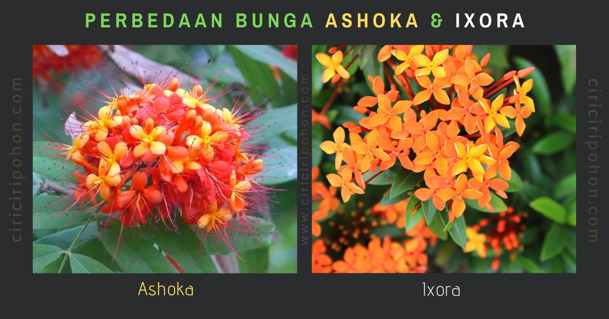 Perbedaan Bunga Ashoka dan Ixora