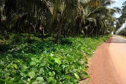 Pengertian, Fungsi dan Manfaat Tanaman Legum Penutup Tanah (LCC)
