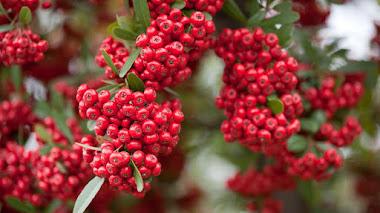 Pyracantha (espino de fuego) cultivo y variedades para el jardín