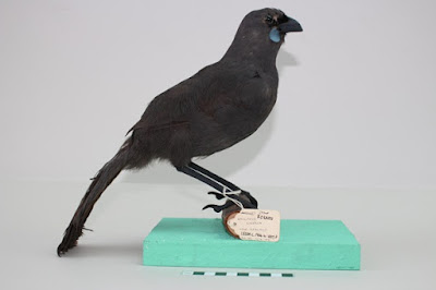 Mounted brown bird with blue patches
