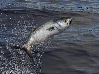 Ikan Bluefish