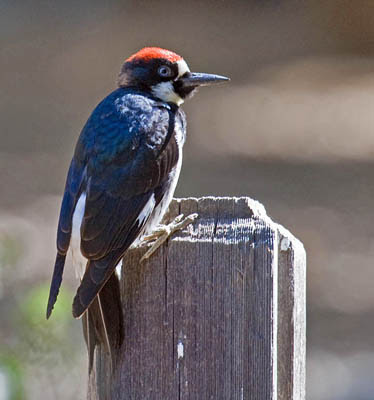 Photo of Acorn Woodpecker on wood post