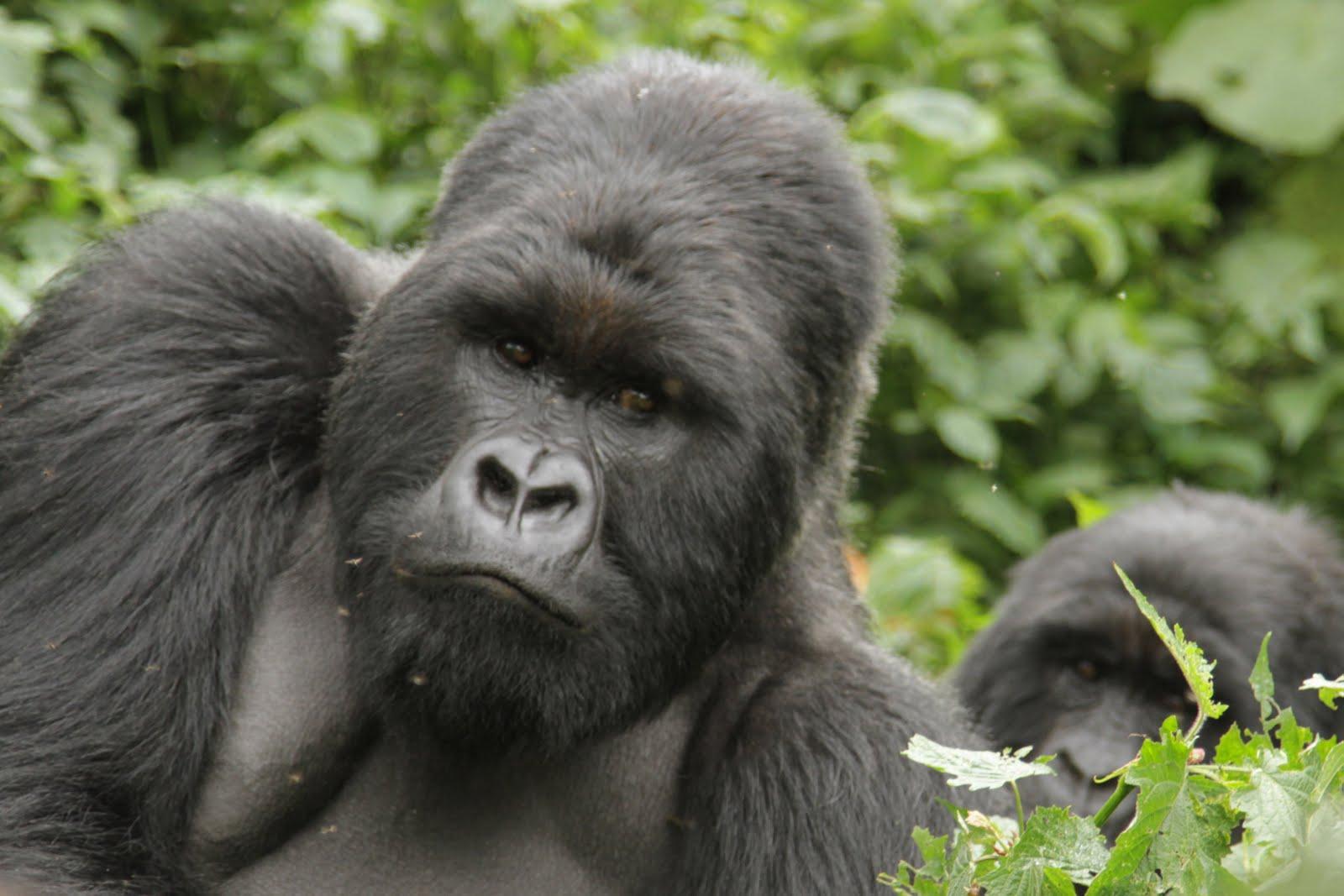 Molecular Anthropology: Gorilla Trekking Experience