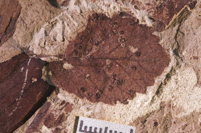 Patagonian fossil leaves reveal rapid recovery from dinosaur extinction event