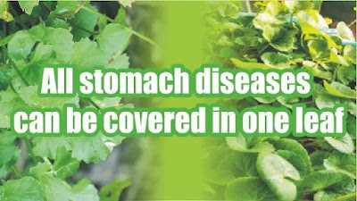 All stomach diseases can be covered in one leaf!
