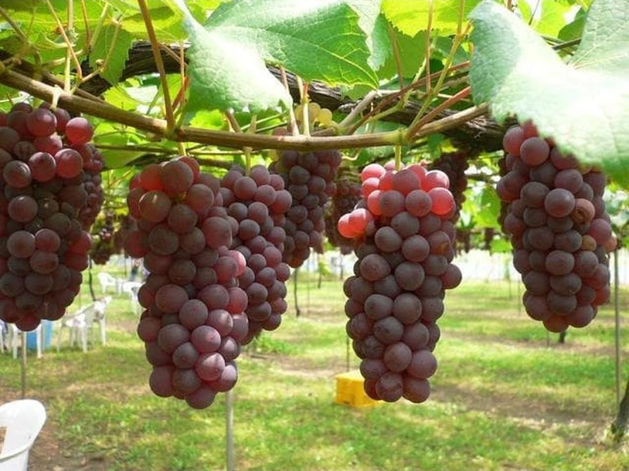 Asli bibit buah anggur import rumba Tomohon