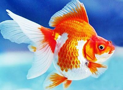 Gambar Ikan Mas Koki Mutiara