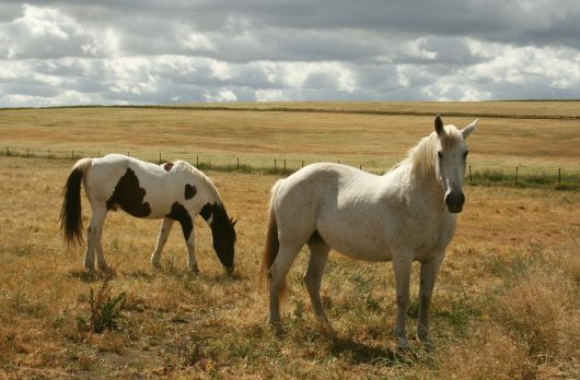 Spanish horses in the Extremadura, Spain