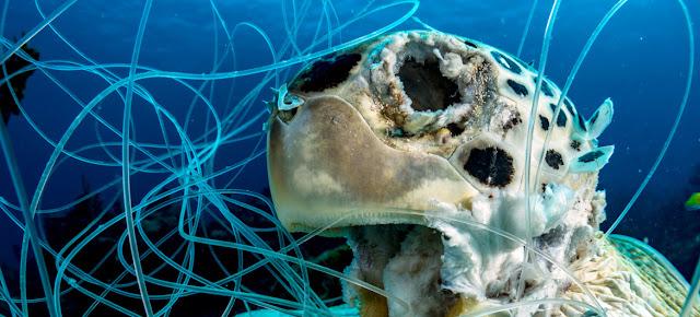 Artes de pesca descartadas pueden ser mortales. Esta tortuga verde falleció en el mar Caribe en las Bahamas.ONU Día Mundial de los Océanos/Shane Gross