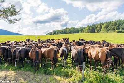 Beskidzkie konie huculskie (hucuły) w stadninie w Regietowie