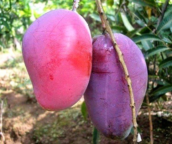 Jenis-jenis Mangga di Indonesia Termanis dan Terpopuler