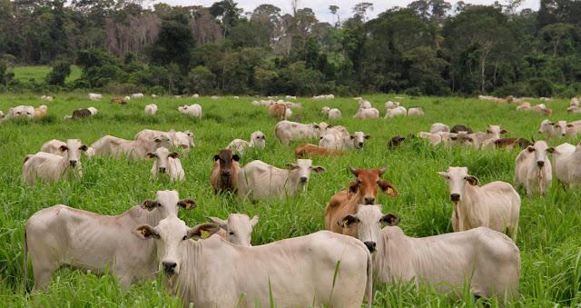 Sesp realiza leilão de gado apreendido em ações de combate ao tráfico de drogas