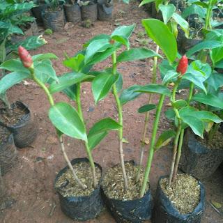 Jual Tanaman Pacing Pentul Merah | Supplier Tanaman Hias | Jasa Tukang Taman Dibogor