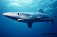 gambar hiu biru blueshark