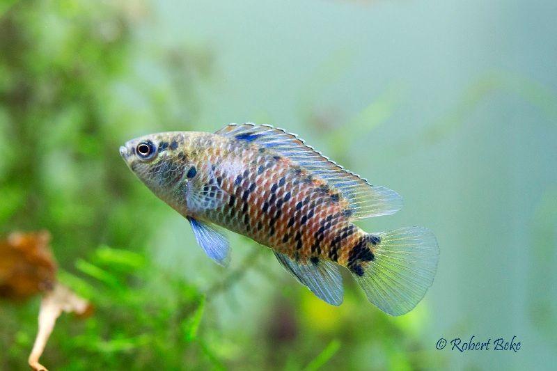 Ikan Badis-Badis