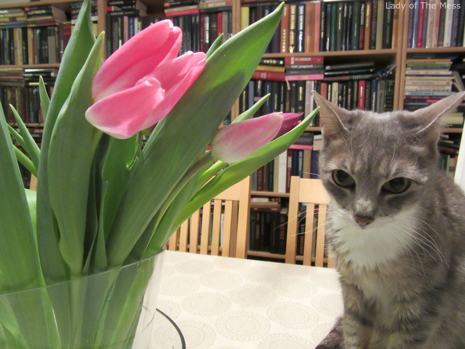 tulppaanit, väri, kissa, tulips, colour, cat