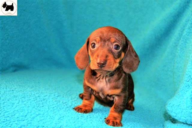Cutest Dog Breeds, Best Dog, Dachshund Dog puppies