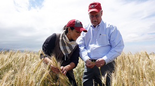 Ronnie Coffman, right, plant breeder and vice chair of the Borlaug Global Rust Initiative based at Cornell, and Maricelis Acevedo, plant pathologist and associate director for science for the Delivering Genetic Gain in Wheat project, examine wheat varieties in Ethiopia for stem and yellow rust.