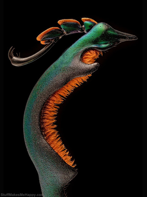 20. Hind paw of a male frog beetle. (Photo by Dr Andrew Mark Posselt - University of California, San Francisco