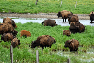 one of the nearby bison herds lives at Eichten's