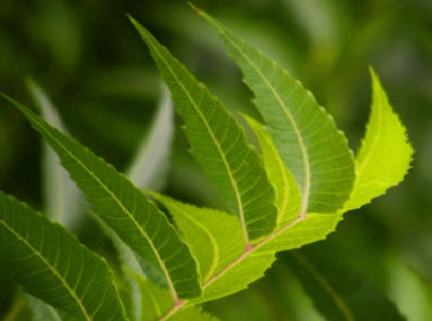 Benefits of Neem for hair, skin and health How to use neem as a natural contraceptive