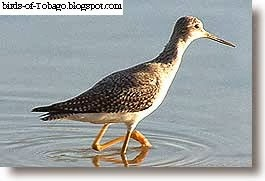 Lesser Yellowlegs (Tringa flavipes) Sandpipers