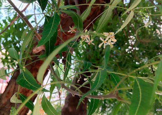 Neem (Azadirachta Indica) benefits Herbal Arcade