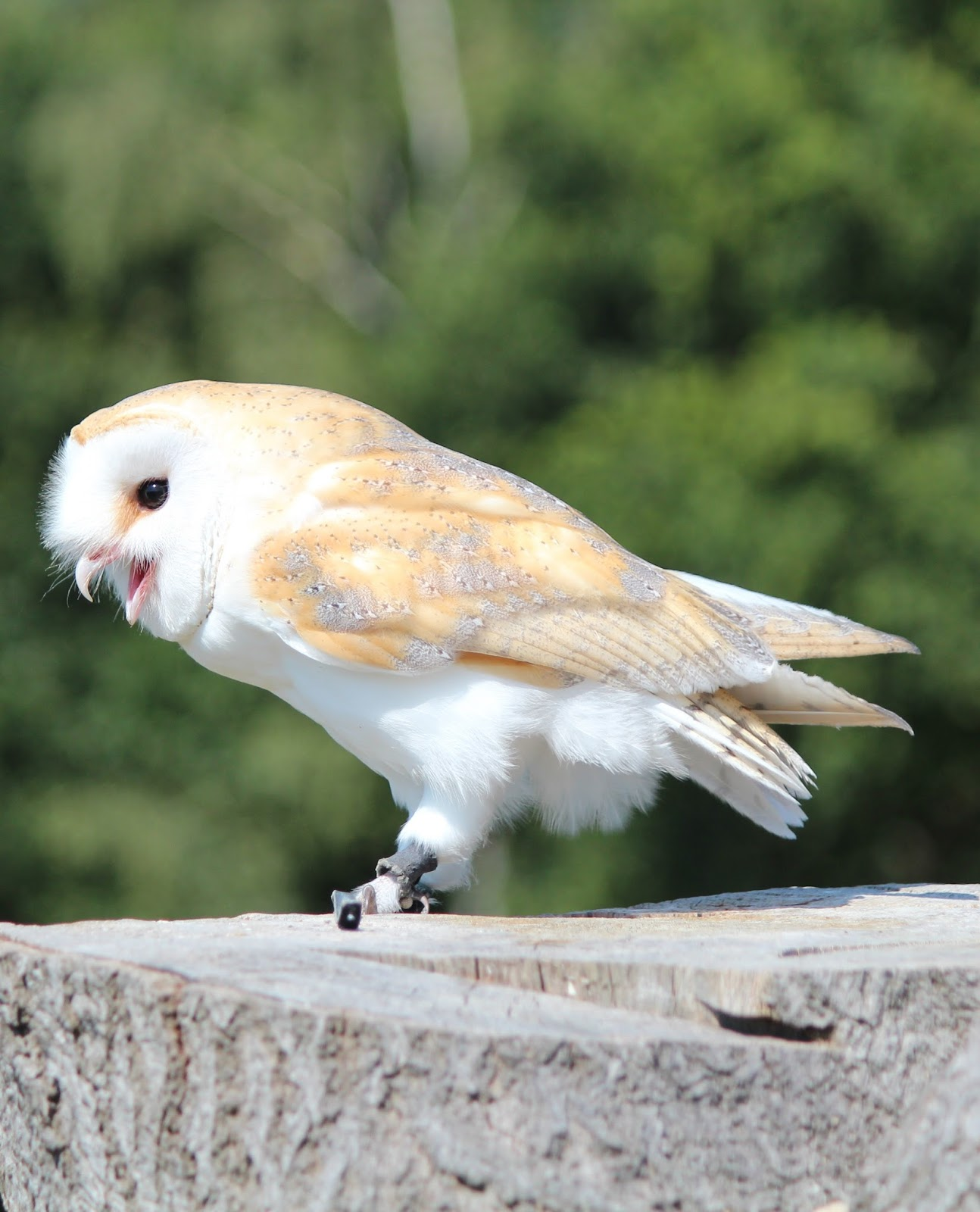 Picture of a barn owl making sounds.