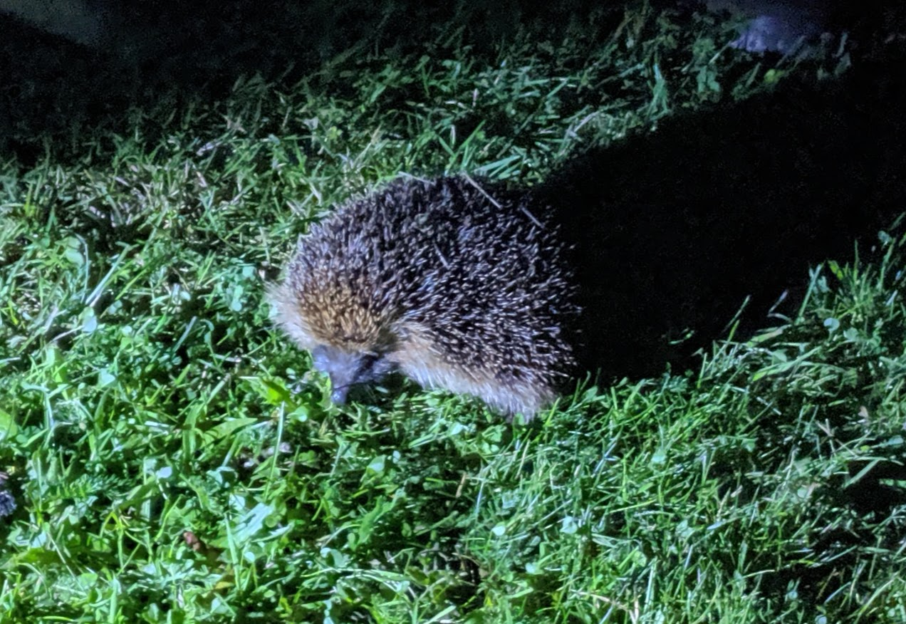How to Explore Durham's Dark Skies with Kids this Autumn - Hedgehog at Hamsterley Forest