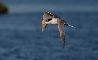 Starting out with Birds in Flight Photography Cape Town - Swift Tern: Canon EOS 6D / EF 300mm f/2.8L IS II USM Lens