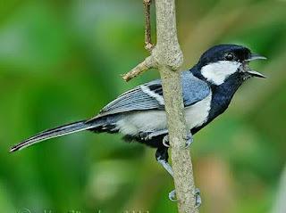 Foto Burung Gelatik