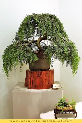 Bonsai Acacia Howittii