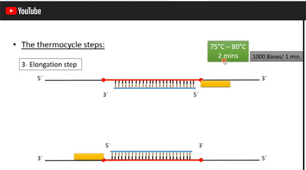 Step 3 of PCR process - Elongation (Source: https://www.youtube.com/watch?v=DH7o9Df5_50)