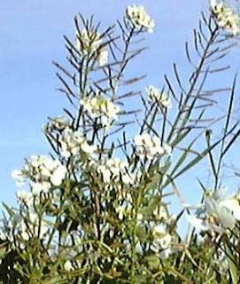Planta leñosa de la cual los jilgueros extraen sus semillas