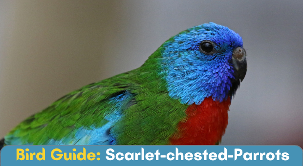 Meeting: Scarlet-chested Parrots