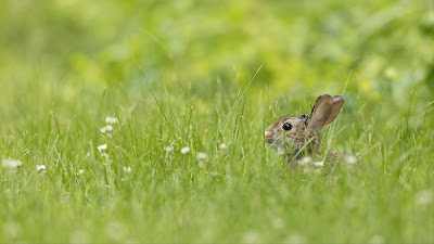 Little Rabbit Wallpaper, Grass, Animal Full HD