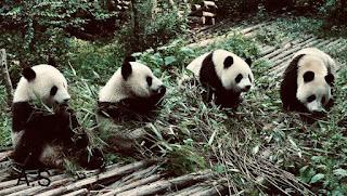 """لية الباندا حزينة """"قصة قصيرة"""""""