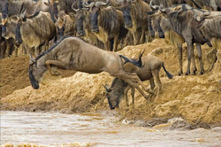Wildebeest migration in Masai Mara from Serengeti