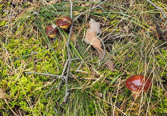 Маслята в лесу у озера Байкал