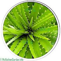 Aloe Vera for home remedies