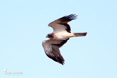 Las rapaces forestales como el águila calzada (Hieraaetus pennatus) son especies importantes dentro de las ZEPAs
