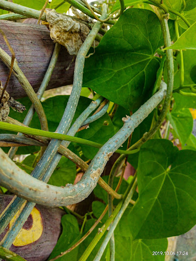 Giloy Health Benefits| Herbal Arcade