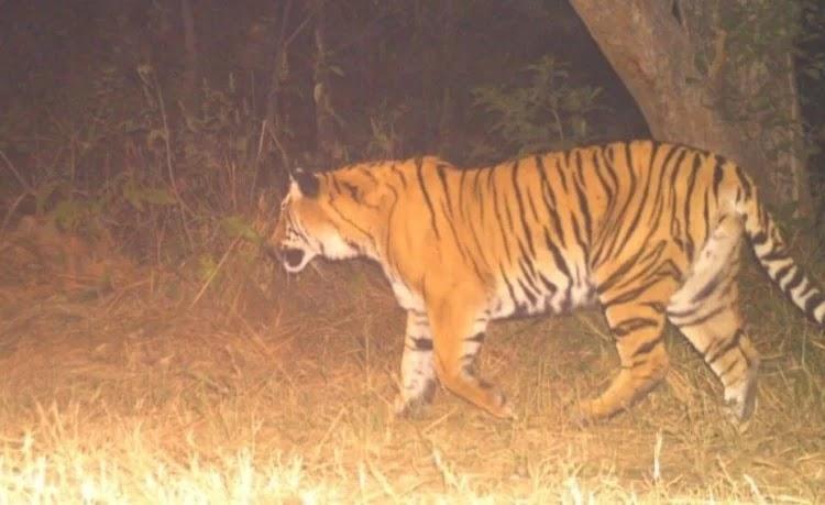रामनगर कॉर्बेट से भेजा बाघ राजाजी पार्क के लगे कैमरा ट्रैप में दिखा। - फोटो : RAMNAGAR