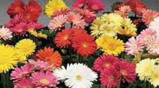 Floarea gerbera: Simbol și legendă