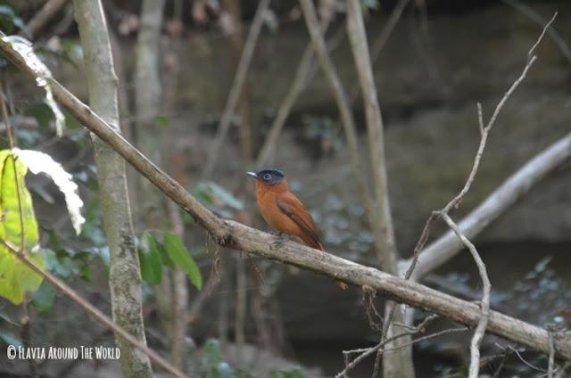 Pájaro parque nacional tsingy de bemahara madagascar