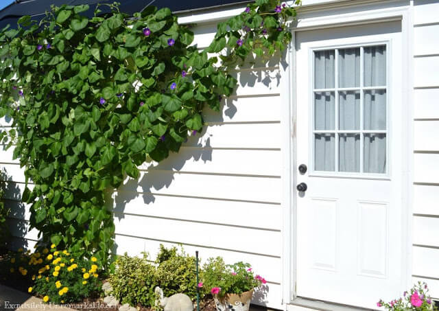 Morning Glories On Garage In Bloom next to garage door