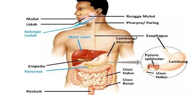 Organ Pencernaan Manusia dan Fungsinya