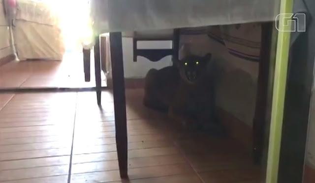 Onça é encontrada debaixo de mesa em uma residência de Paranavaí