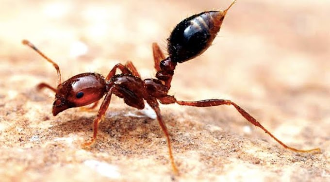 How Pavement Ants Can Be Dangerous For You?