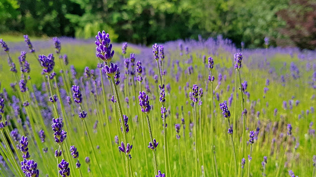Stalks of lavender on Salt Spring Island...
